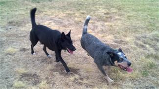 understanding dog communcation