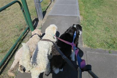 more dog attention seeking behavior