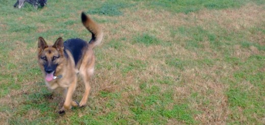German Sheperd at play