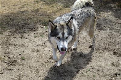 dog chasing husky