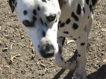 the happy dalmation