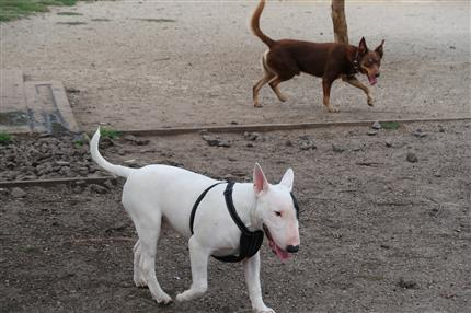 kelpie and bull terrier