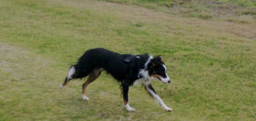 Border collie enjoying freedom