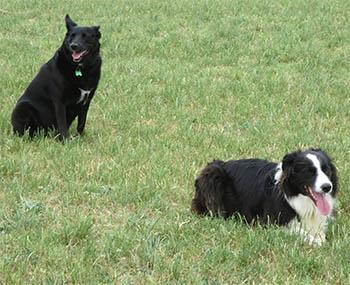 dog training and dog vision