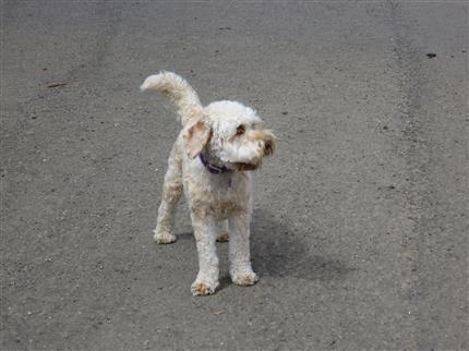 love the labradoodle