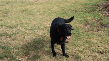black lab all ready to play