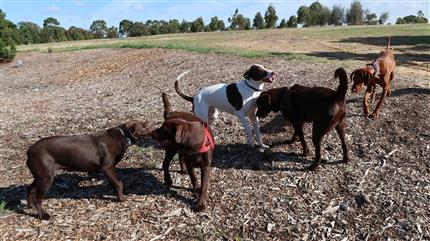 many dogs playing